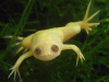 African Clawed Toad (Pack of 2)